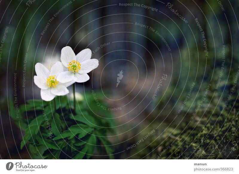 Nature Flower Spring Moss Environmental protection Wild plant Spring flower Spring flowering plant Wood anemone
