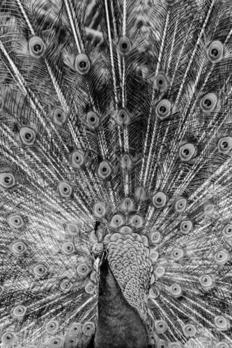 noble pallor Peacock birds Exterior shot Deserted Peacock feather Pride Animal Animal portrait Conceited Rutting season Elegant Esthetic Close-up Day