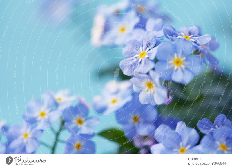 Nature Plant Flower Friendship Romance Infatuation Loyalty Valentine's Day Forget-me-not