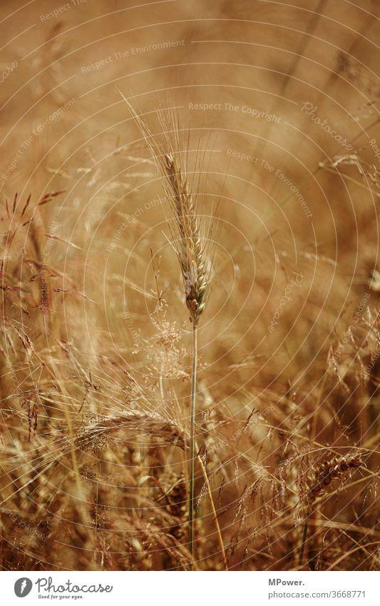cereals Grain Grain field Field Agriculture Cornfield Ear of corn Agricultural crop grain Food Nutrition Summer golden ecologic Wheatfield Rye Rye field