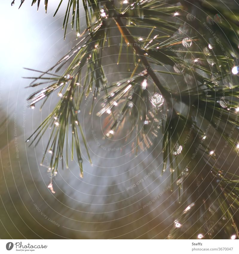 of light and rain Rain raindrops Twig conifer branch sparkle Spruce Wet Drop Light Flare Shaft of light Point of light Weather certain light Bad weather rainy