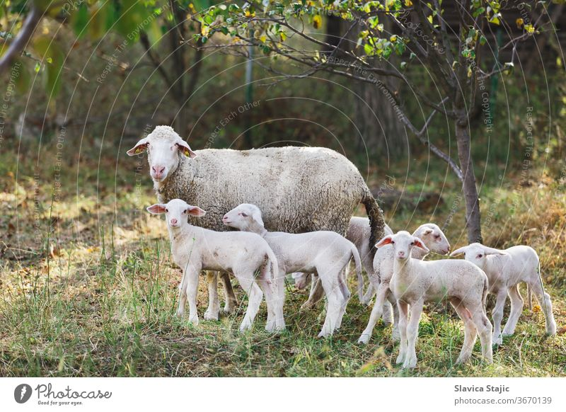 Cute young lambs with their mother standing outside at a farm and  staring at the camera sun graze sheep field landscape farmland grazing livestock outdoors