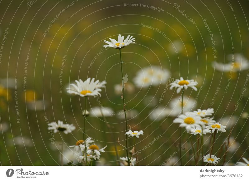 Black-edged daisies on a meadow, Leucanthemum atratum in summer marguerites Meadow summerly flowers motif Plant Nature green Summer Yellow spring natural