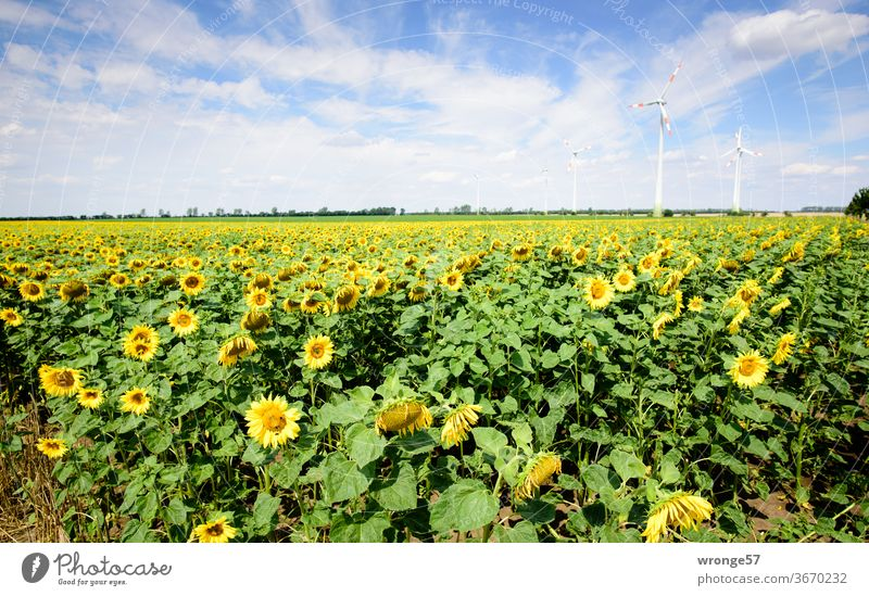 A field of blooming sunflowers under a blue sky with some windmills in the background Sunflowers Field Sunflower field Blossoming Summer Blue sky partly cloudy