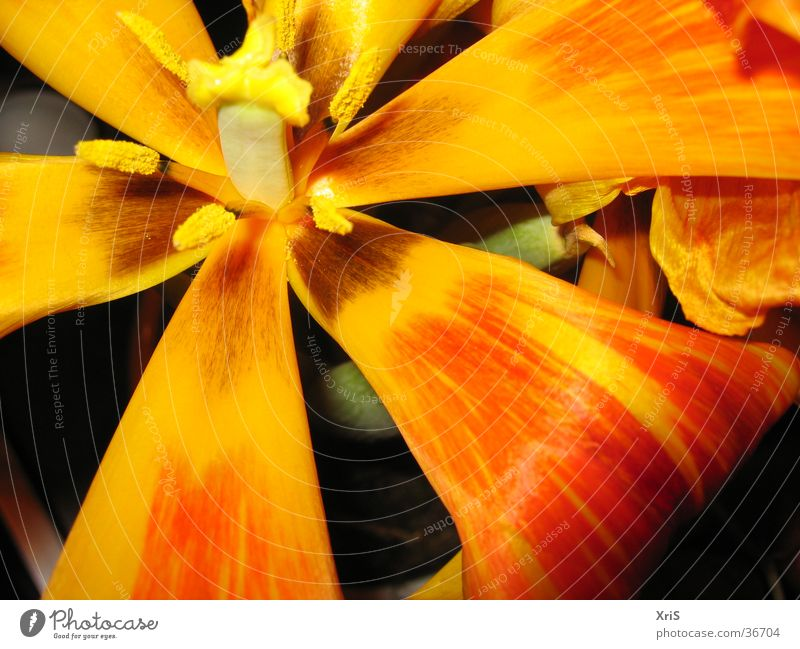 tulip Flower Plant Blossom Tulip Red Detail Close-up Macro (Extreme close-up) Orange