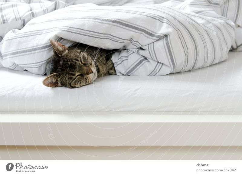 sleeping bag Animal Pet Cat 1 Lie Sleep Cuddly Gray White Dream Calm Doze Cover up Bed Bedclothes Stripe Colour photo Subdued colour Interior shot Day
