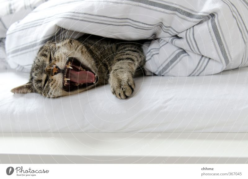 Beware, I am awakened. Furniture Bed Bedclothes Sheet Duvet Pelt Animal Pet Cat Claw Paw 1 Lie Sleep Calm Indifferent Comfortable Relaxation Muzzle Snout