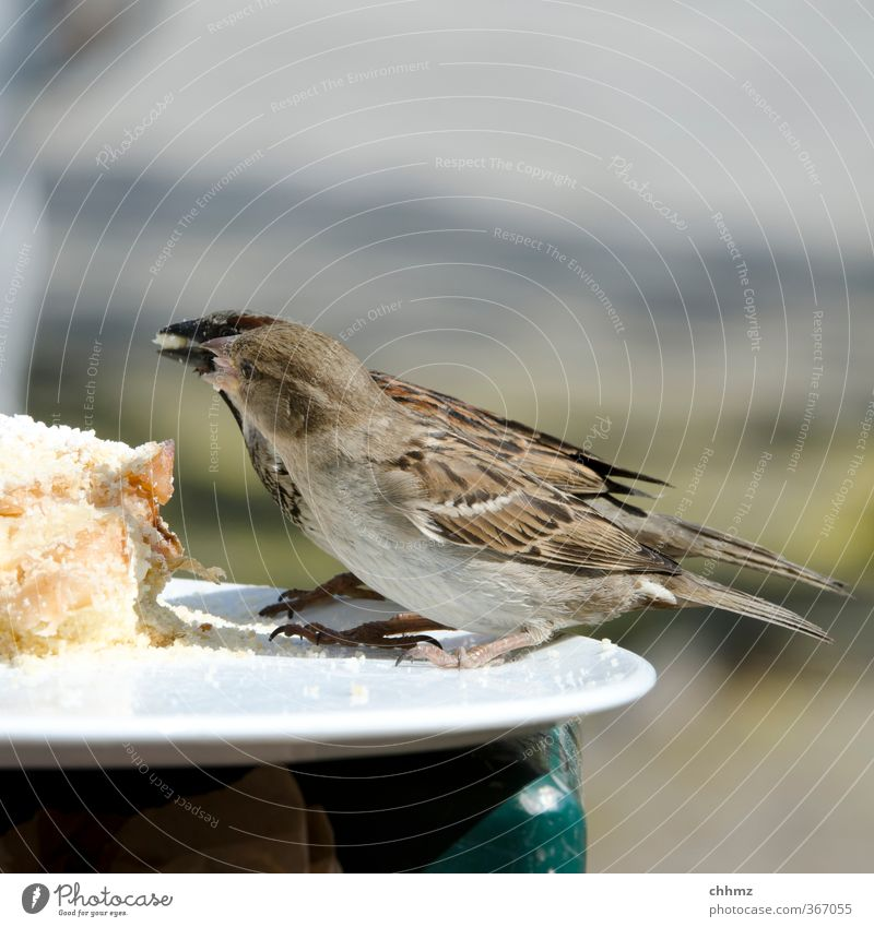 jealousy about food Cake Wing Sparrow 2 Animal Eating To feed Feeding share Food envy give Crumbs Consistent Plate Edge of a plate Feather Feeding area