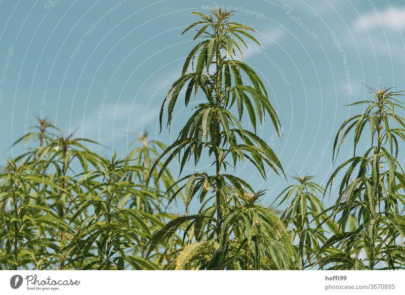 Hemp - everywhere Hemp hemp plant Plant Intoxicant Cannabis green Cannabis leaf Alternative medicine Agricultural crop flaked Medication Day thc Intoxication