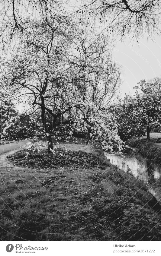 Magnolia magic - Magnolia tree in full bloom magnolias Tree Park Black & white photo White Nature blossom Brook Grief mourning card Hope Grass Blossom Gorgeous