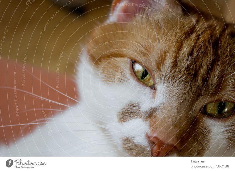 Cat Relaxation Animal Orange Serene Boredom