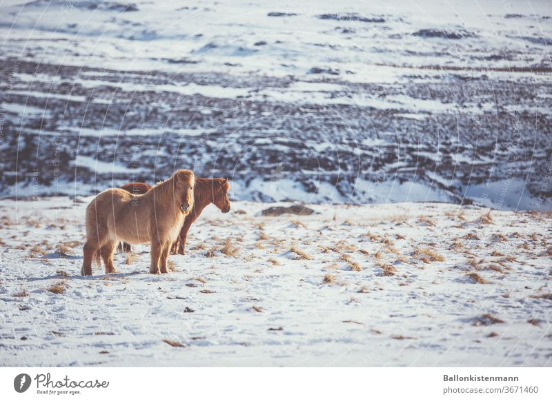Iceland Inventory 34 Iceland Pony Horse Snow Warm light Landscape snow-covered Meadow paddock Pelt tranquillity