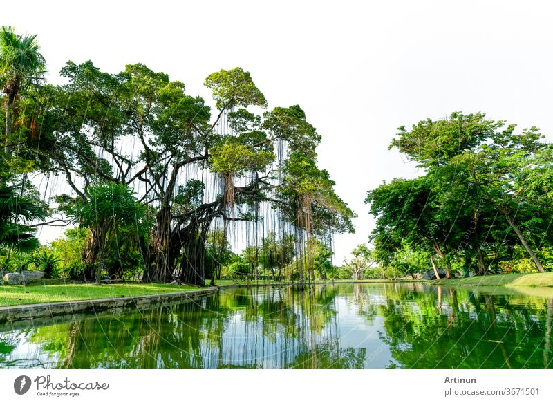Raintree and many of green tree in the park and pond. Trees and green grass lawn field near lake with tree reflection on water. Lawn in garden on summer. Park with tropical plant. Urban ozone source.