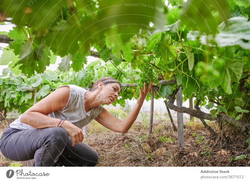 Woman picking grapes on farm collect fruit woman summer farmer garden female nature harvest cultivate plantation fresh agriculture countryside rural organic