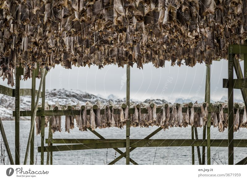 Stockfish in Lofoten Dried cod Fish hang Dry Framework Lofotes Norway Scandinavia North Winter chill Hang up warehouse food Eating Water Ocean Islands Coast