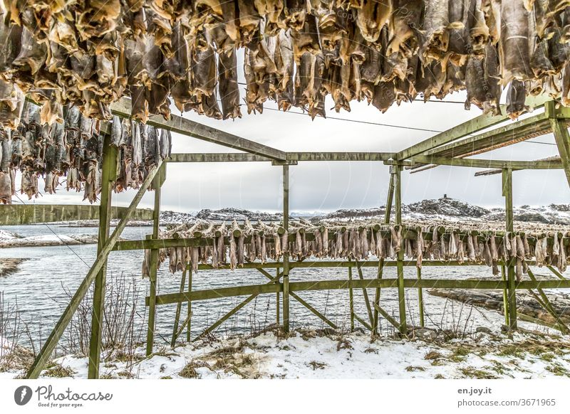 Stockfish in Lofoten Dried cod Fish hang Dry Framework Lofotes Norway Scandinavia North Winter chill Hang up warehouse food Eating green Water Fjord Ocean
