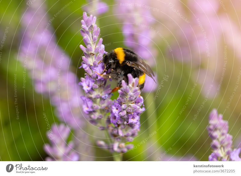 Hard-working bumblebee in lavender Bumble bee Insect Lavend flowers purple Fragrance Animal Animal portrait People unhuman Close-up Garden Nature lure fragrant