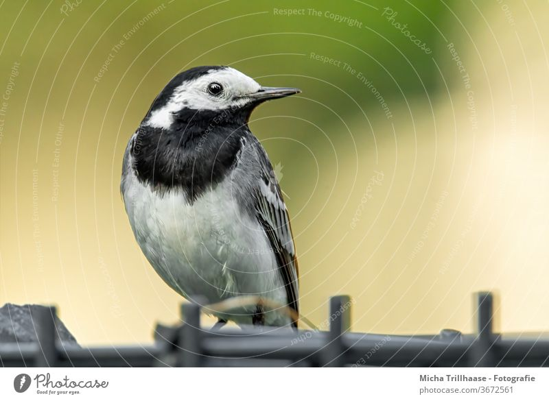 White Wagtail on the garden fence Motacilla alba Animal face Head Beak Eyes Grand piano Feather Plumed Claw birds Wild animal Observe Looking Small Near Fence