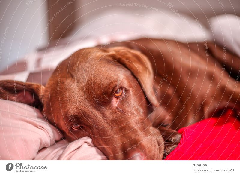 Brown tired Labrador Well-being Relaxation Summer vacation Beautiful weather Garden Pet Dog Paw To enjoy Lie Cool (slang) Friendliness Cuddly Cute green