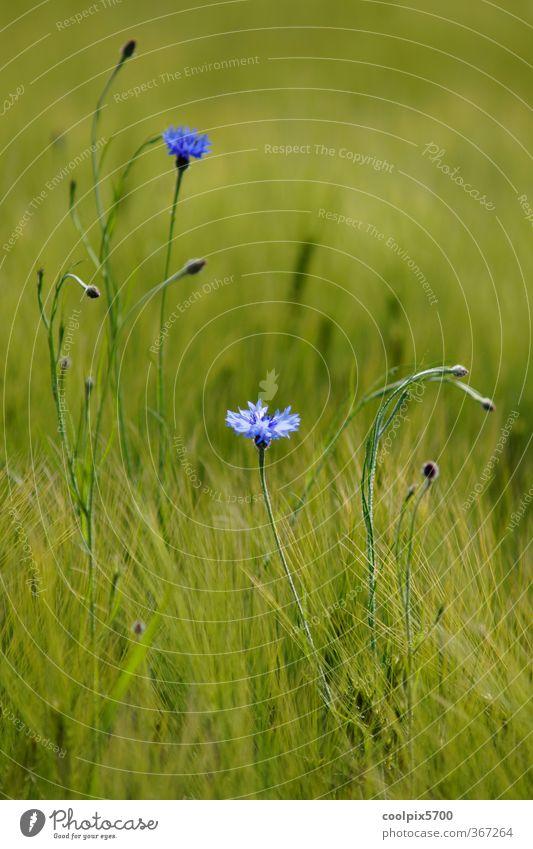 Blue Green Summer Plant Blossom Field Elegant Violet Agricultural crop Wild plant