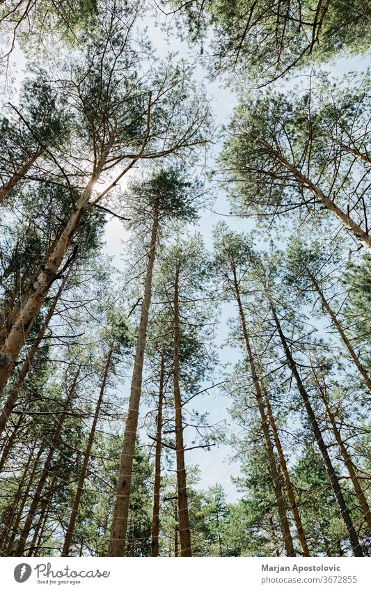 Pine tree forest on a sunny summer day background beams beautiful branches country dirt environment europe evergreens fir foliage group growing growth hiking