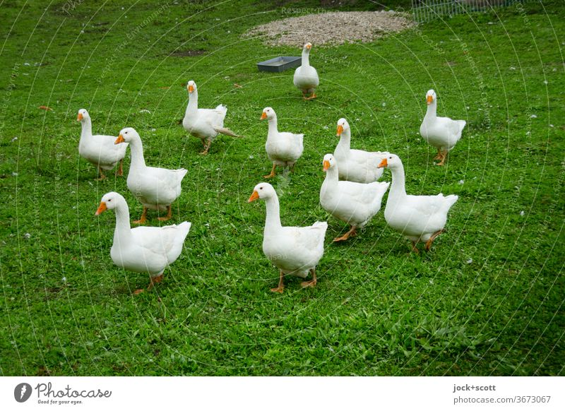 curious geese Goose Pack Authentic Meadow Farm animal Curiosity naturally Keeping of animals Livestock breeding Ecological Looking into the camera