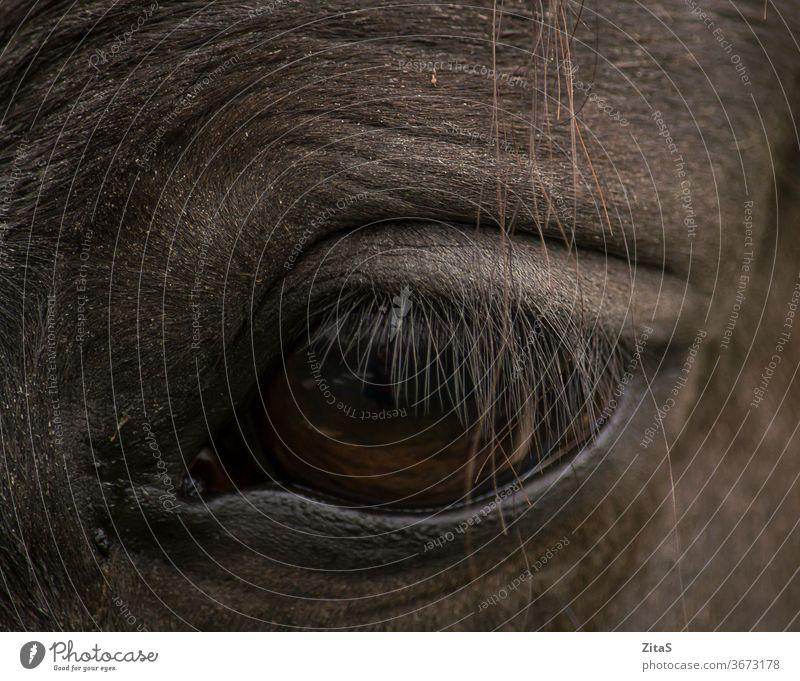 Closeup of an eye of a dark horse black animal herbivore detail closeup lashes eyelid brown
