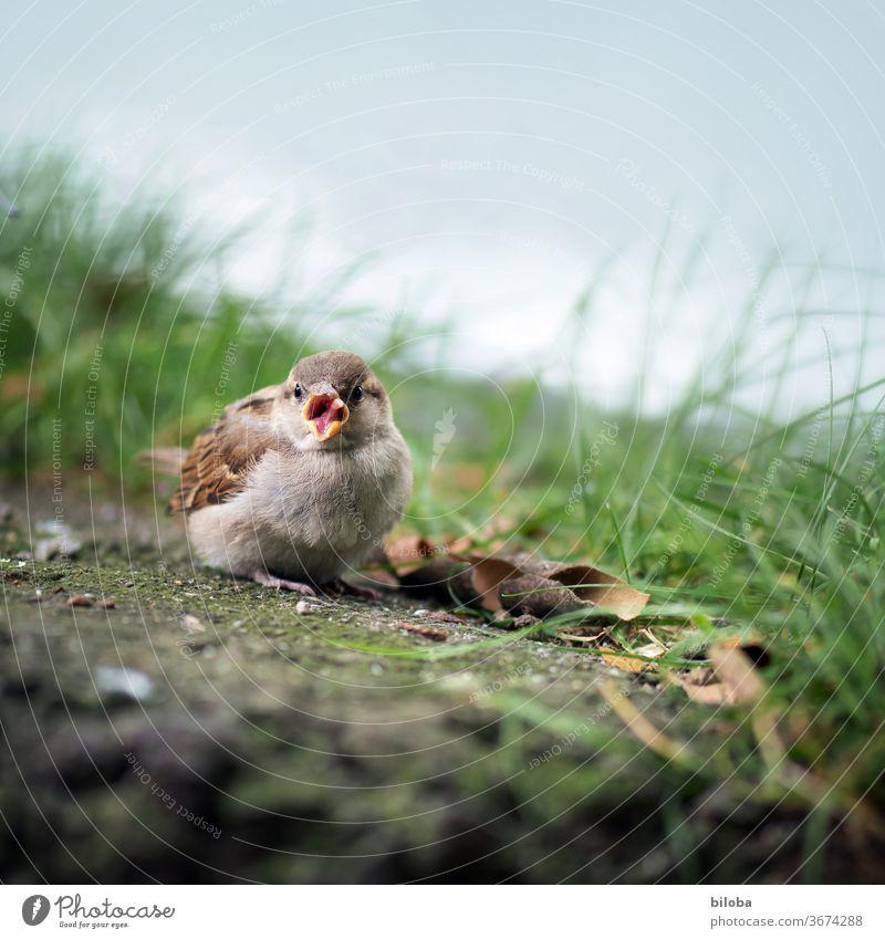 Bird sticks out his tongue at the wayside. birds Sparrow Tongue Beak feathers Animal Exterior shot Wild animal 1 Animal portrait Shallow depth of field