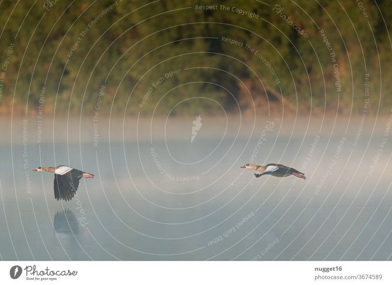 Nile geese flying through the morning mist Day Colour photo Exterior shot Nature Goose Floating Animal birds Wild animal Flying Deserted Environment Flock