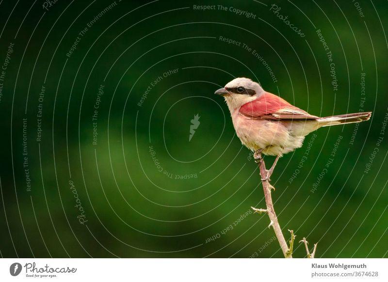 """Red-backed shrike, red-backed shrike male Singvogel"""" Chestnut-backed Shrike spike extractor breeding period Exterior shot Animal portrait Wild animal Deserted"""
