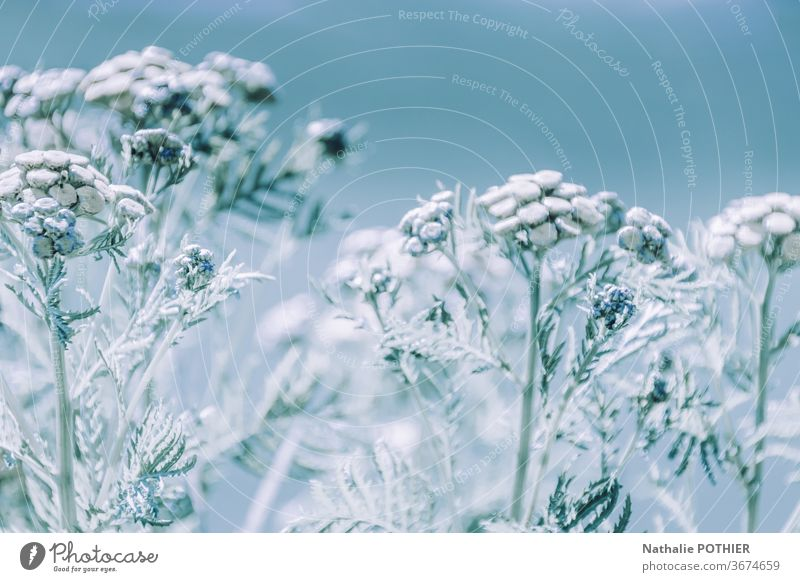Frosted flowers frosted flowers winter snow cold nature Snow Winter Ice Frozen Ice crystal Cold Freeze Hoar frost Frostwork Blue Exterior shot Nature White