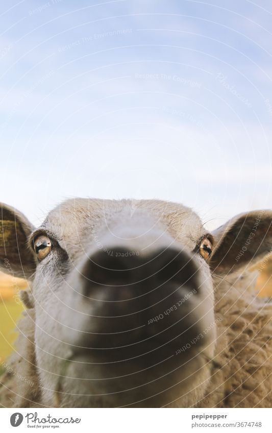 Sheep - blurred Animal Farm animal Exterior shot Colour photo Animal portrait Grass Nature Deserted Wool Meadow Day Pelt Willow tree Flock Animal face Snout