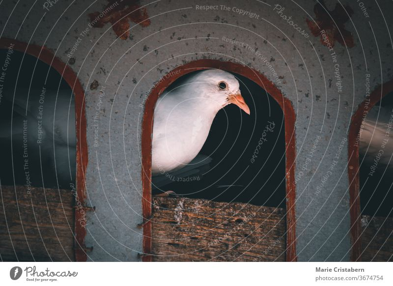 A dove peeking out from it's bird house cinematic dark and moody pidgeon house dovecote pigeon house resting peace bird photography streptopelia natural perched