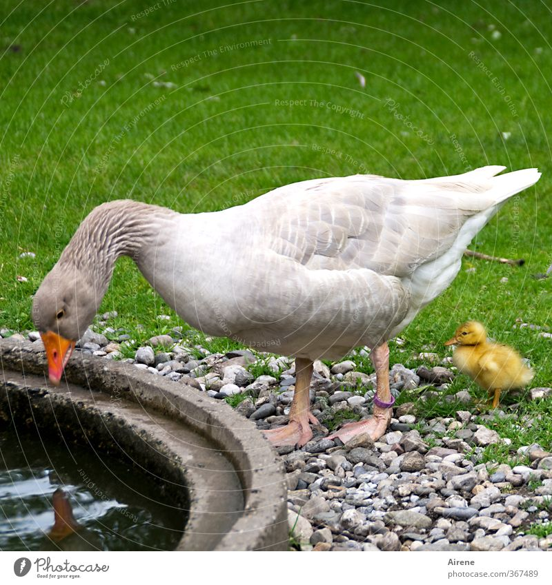 Green Beautiful White Animal Yellow Baby animal Feminine Funny Bird Infancy Cute Curiosity Well Pet Surface of water Parenting