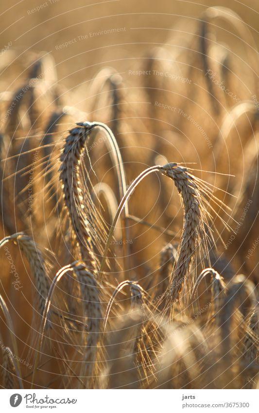 heartily Cornfield Heart Field Summer Nature Grain Agriculture Barley Grain field Yellow grain Organic produce Sustainability Love Ear of corn Growth Nutrition