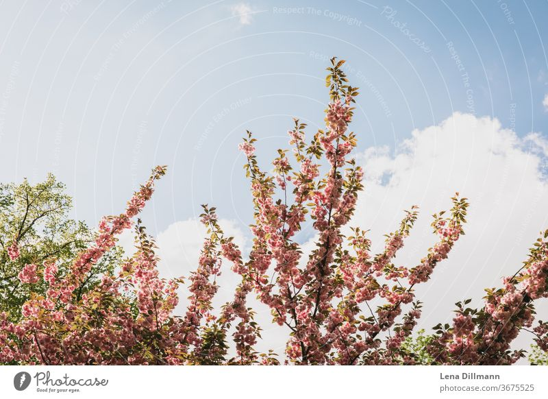 cherry Cherry tree bleed Boiling Blue sky Sky Clouds cloudy spring blossom branches huts Spring sunshine