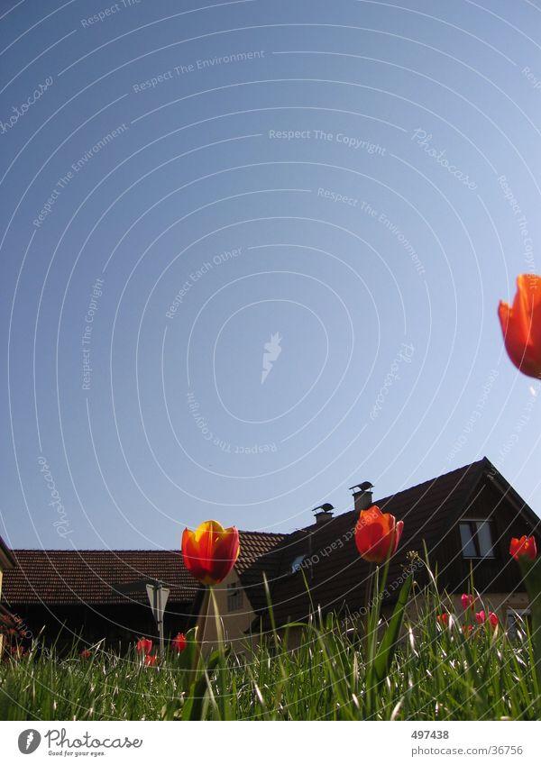 Flower House (Residential Structure) Grass Tulip Blue sky Portrait format
