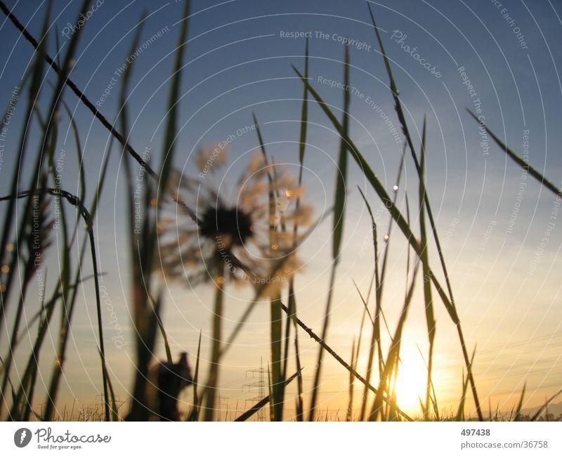 Sky Grass Dandelion