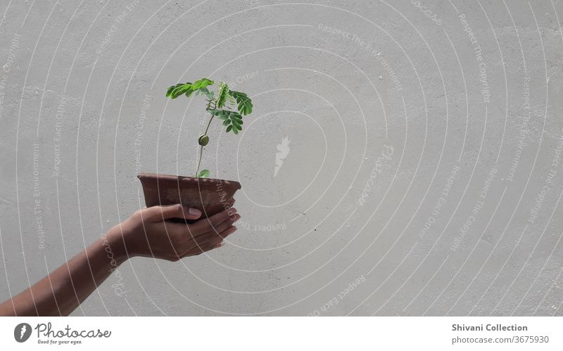 Green plant pot in human hand isolated on white concrete wall background. Day Exterior shot Fresh Hand Spring colours Lettuce Healthy Eating Food Perspective