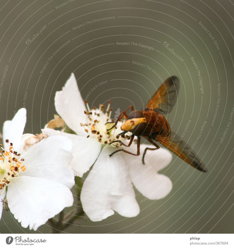reserve bee Nature Plant Animal Rose Blossom Park Fly 1 Yellow Orange White Hover fly hornet shuttle fly Camouflage pollination Colour photo Exterior shot
