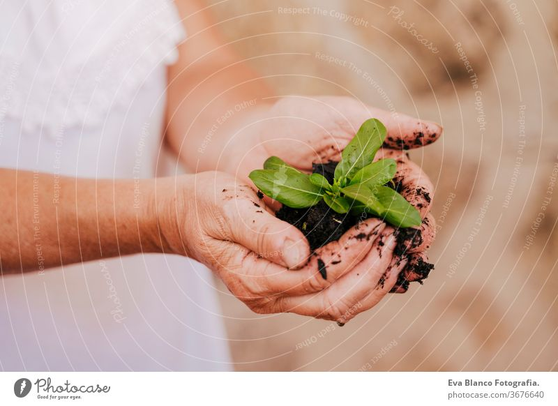 unrecognizable middle age woman working with plants outdoors, holding earth and a small green plant, gardening concept. environment protecting. sprouts bio
