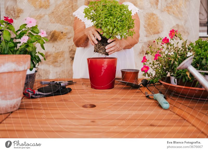 unrecognizable middle age woman working with plants outdoors, gardening concept. Nature 60s retired home earth flowers agriculture hobby horticulture dirtied