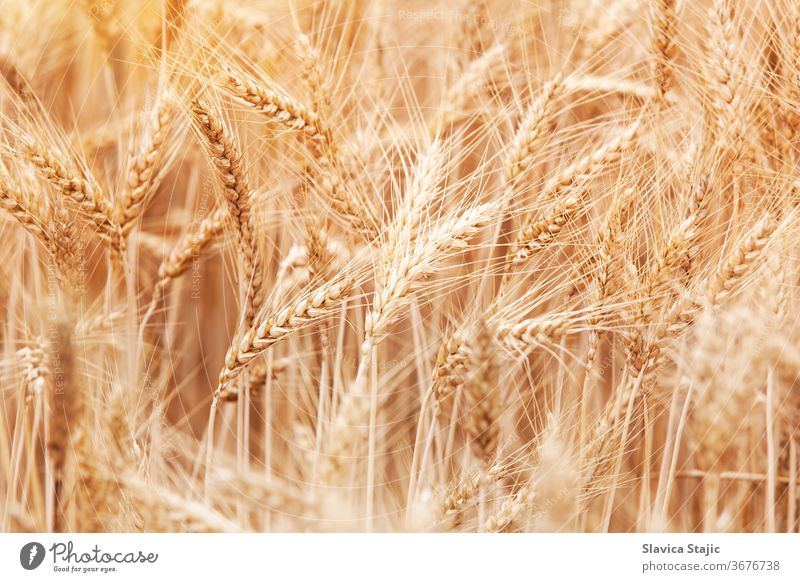 Close-up of stalks in wheat field agriculture background barley bread country countryside crop cultivate dry ear farm farming fertile food golden grain grow