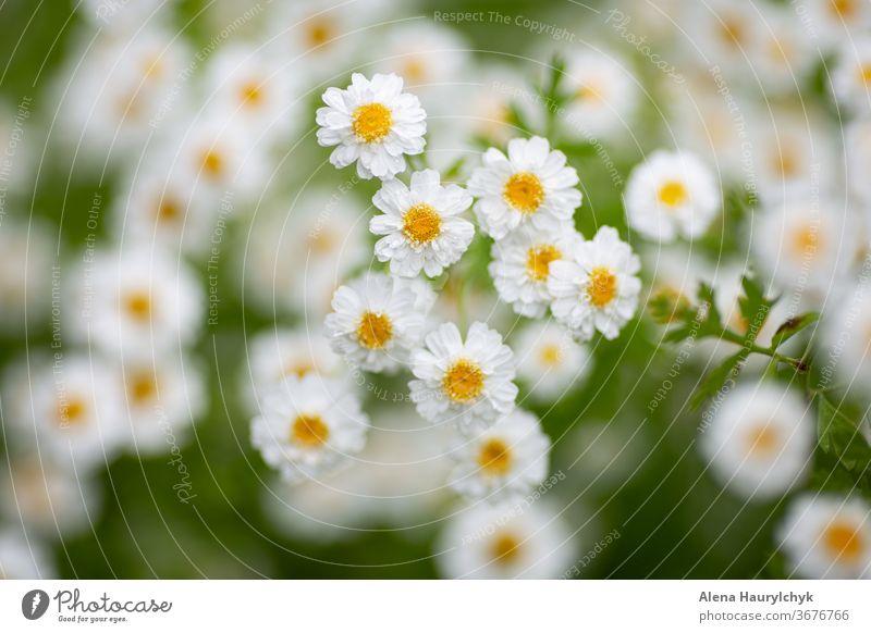 White matricaria (feverfew) flowers. Natural repellent against pincers (tick). Medicine herbs. Beautiful natural background. arboretum asteraceae beautiful