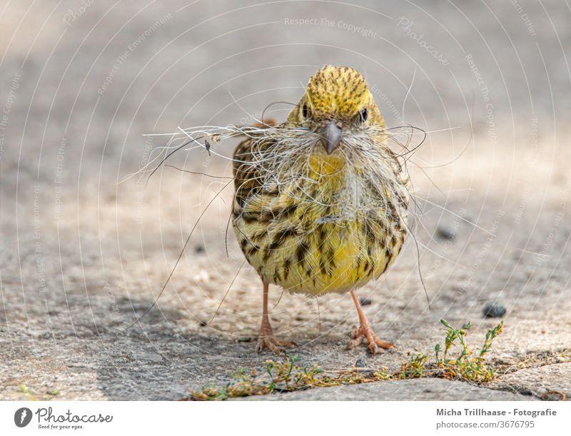 Yellowhammer with nesting material in its beak emberiza citrinella birds Wild bird Head Beak peer Legs Claw feathers Plumed Grand piano Nest-building amass