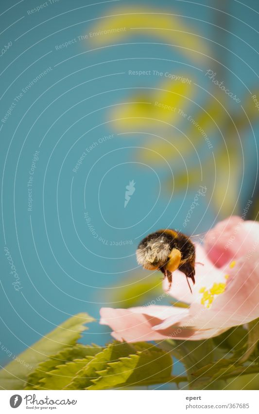 Nature Animal Blossom Flying Insect Bumble bee
