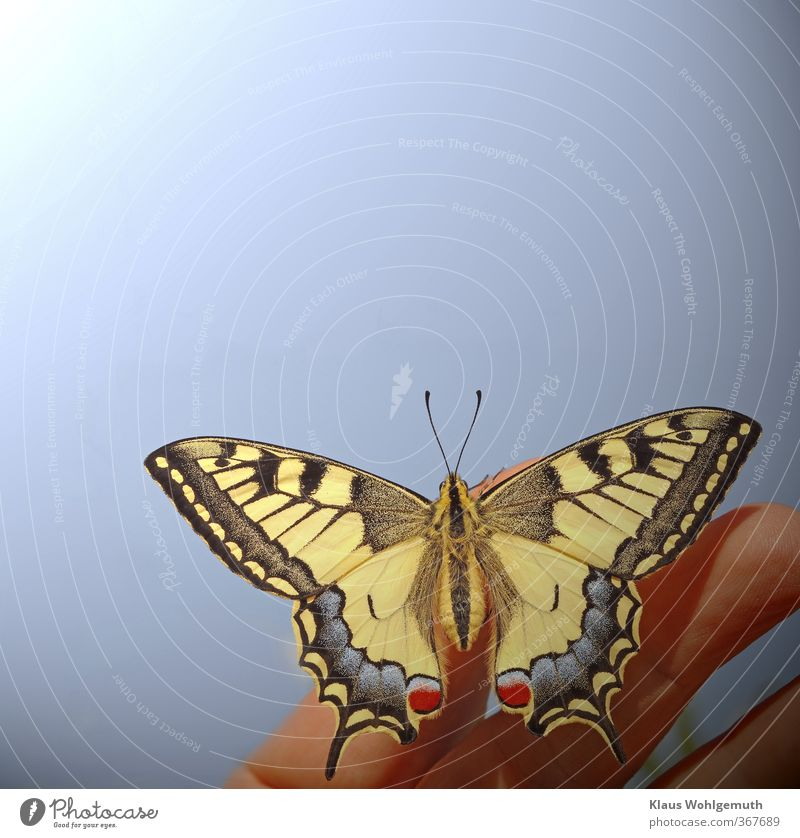 HOPE CARRIER Environment Nature Animal Sky Cloudless sky Sun Summer Beautiful weather Wild animal Butterfly Wing Scales 1 Sit Elegant Exotic Natural Blue Yellow