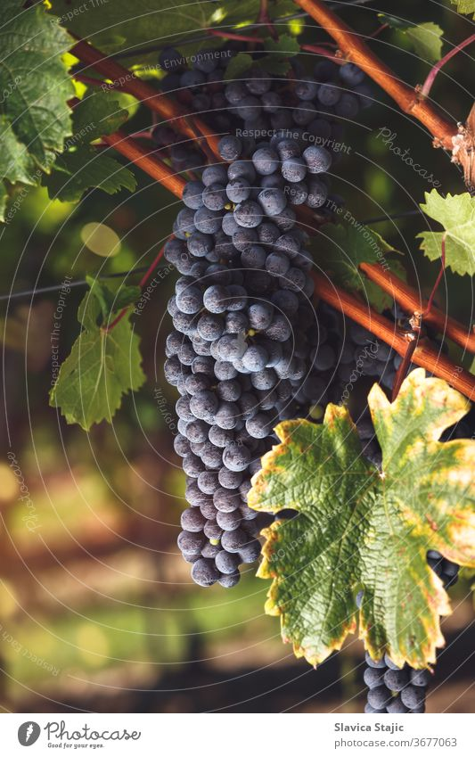 Ripe Cabernet grapes on vine growing in a vineyard at sunset time agriculture autumn back light black blue bordeaux branch bright bunch cabernet cluster country