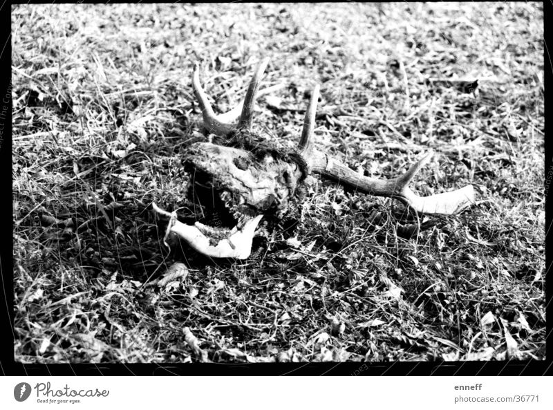 shoot`em up Analog Deer Paddle Antlers Meadow Death dead and buried still deadlier extremely dead Black & white photo bone bones Contrast