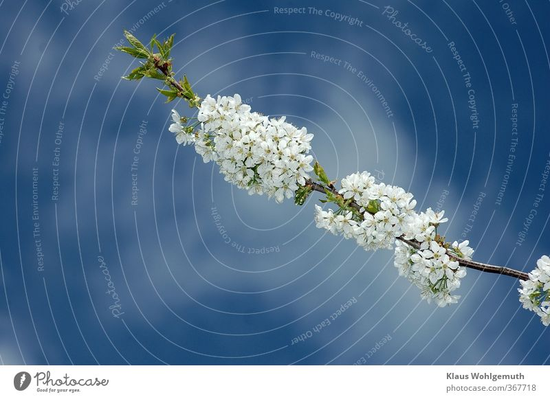 Time change/ Then it's spring! Sky Clouds Spring Beautiful weather Plant Tree Blossom Garden Park Forest Blue Green Turquoise White Cherry blossom Colour photo